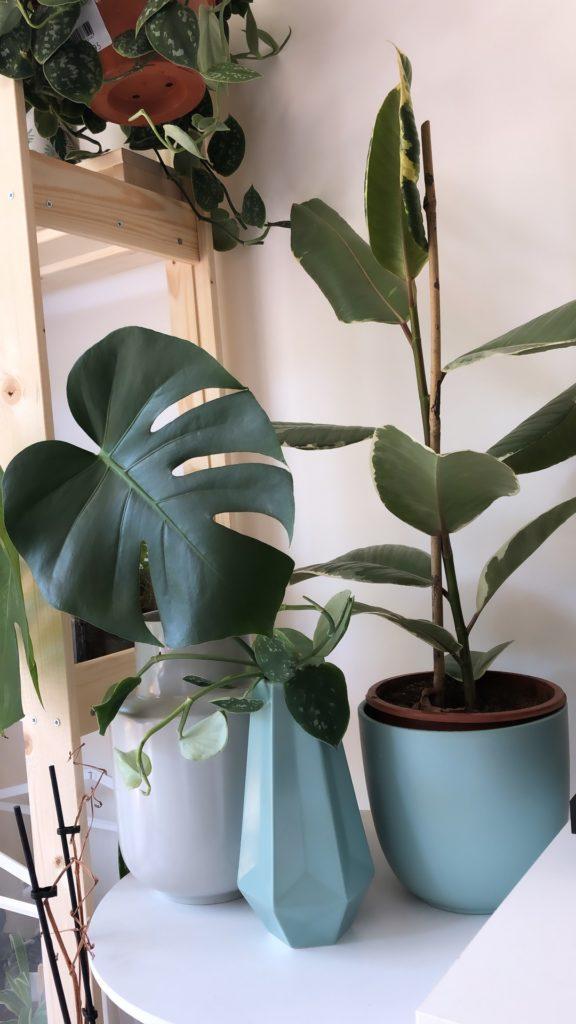 plant addict debutant